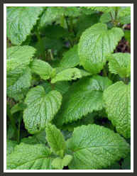 calming herbs, lemon balm