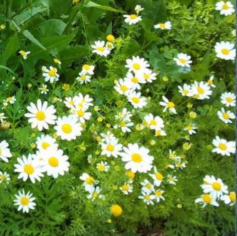 chamomile flowers, stress-relieving herbs