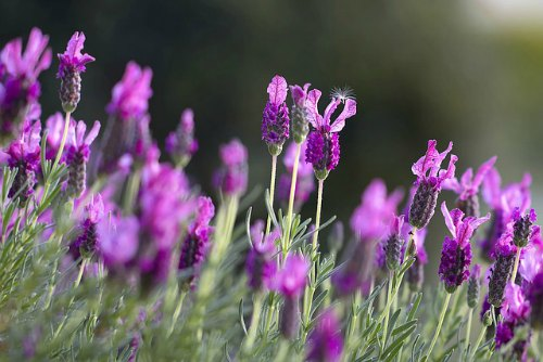 lavender, aromatherapy for depression
