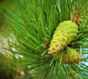 pine needles, popular essential oil remedies