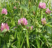 anti cancer herbs, red clover