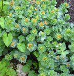 rhodiola, adaptogenic stress herb