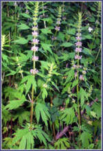 calming herbal remedies motherwort