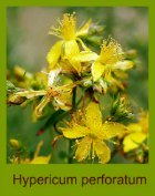 flower therapy, saint johns wort